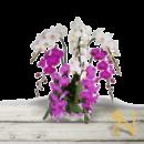 bunga-anggrek-bulan