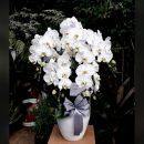 anggrek bulan putih dewasa rangkaian 5 pohon