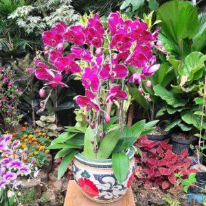bunga anggrek koleksi