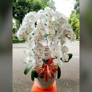 bunga ucapan anggrek bulan putih 5 pohon
