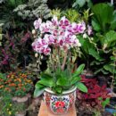 rangkaian bunga anggrek bulan koleksi